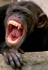 Laughing ape