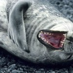 Laughing seal3