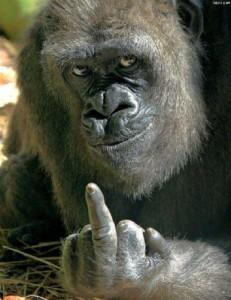 Gorilla giving finger