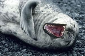 Seal laughing 3