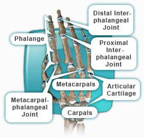 Finger anatomy names